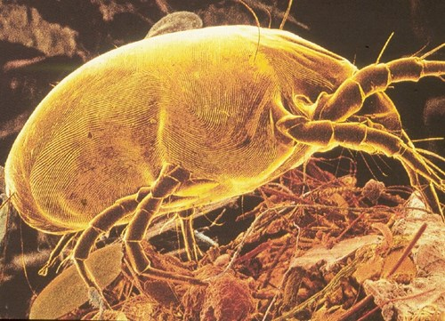 zoomed in microscopic photo of a dust mite crawling in Bellingham wa