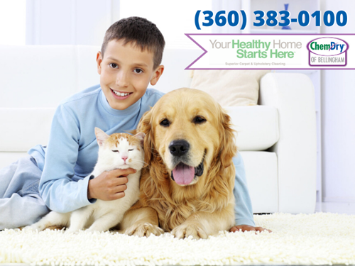 chemdry of bellingham, your healthy home starts here graphic with a boy and a cat and a dog in Bellingham WA